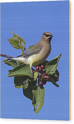 Cedar Waxwing Wood Print by Angie Vogel