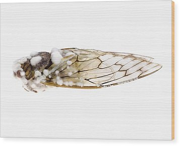 Cicada Infected With Fungus Wood Print by Science Photo Library