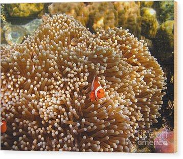 Clownfish In Coral Garden Wood Print by Fototrav Print