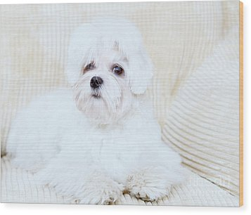 Cute Maltese Wood Print by Monika Wisniewska