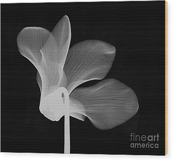 Cyclamen Flower X-ray Wood Print by Bert Myers