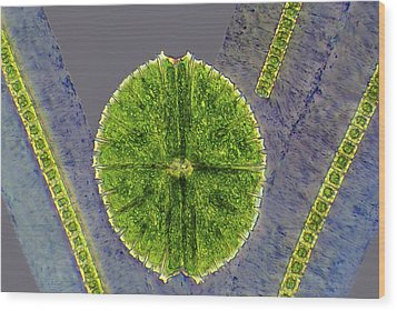Desmids, Light Micrograph Wood Print by Science Photo Library