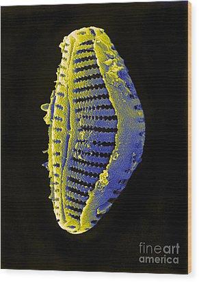 Diatom Wood Print by David M. Phillips
