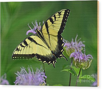Eastern Tiger Swallowtail Wood Print by Rodney Campbell