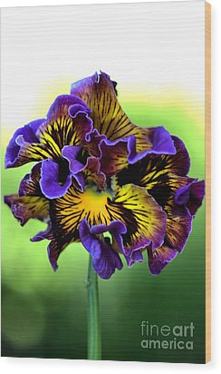 Frilly Pansy Wood Print by Joy Watson