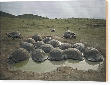 Galapagos Giant Tortoises Wallowing Wood Print by Tui De Roy