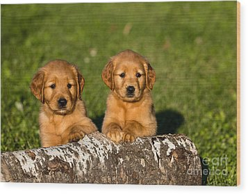 Golden Retriever Puppies Wood Print by Linda Freshwaters Arndt