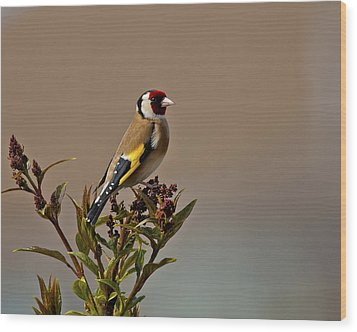 Goldfinch Wood Print by Paul Scoullar