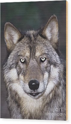 Gray Wolf Portrait Endangered Species Wildlife Rescue Wood Print