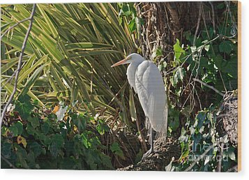 Wood Print featuring the photograph Great Egret by Kate Brown