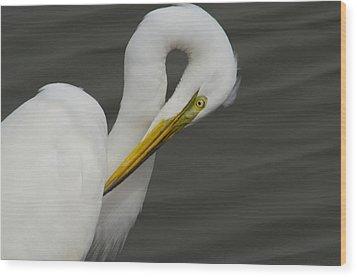 Great Egret Preening Wood Print