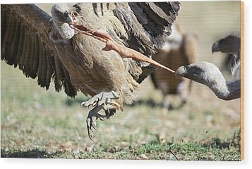 Griffon Vultures Feeding Wood Print by Nicolas Reusens