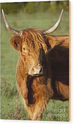 Highland Cow Wood Print by Brian Jannsen