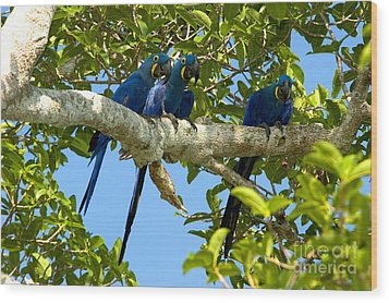 Hyacinth Macaws, Brazil Wood Print by Gregory G. Dimijian, M.D.