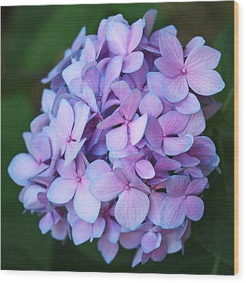 Hydrangea Wood Print by Rona Black