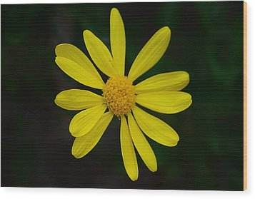 Wood Print featuring the photograph Isolated Daisy by Debra Martz