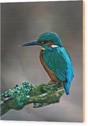 Kingfisher Wood Print by Paul Scoullar