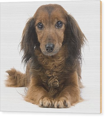 Long-haired Dachshund Wood Print by Jean-Michel Labat
