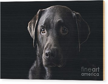 Low Key Chocolate Labrador Wood Print by Justin Paget