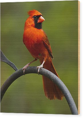 Male Cardinal Wood Print by Robert L Jackson