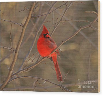 Male Northern Cardinal Wood Print