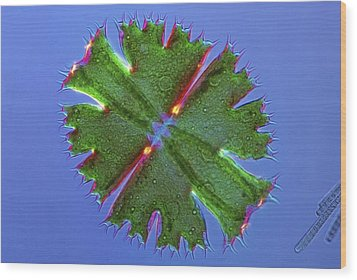 Micrasterias Desmid, Light Micrograph Wood Print by Science Photo Library