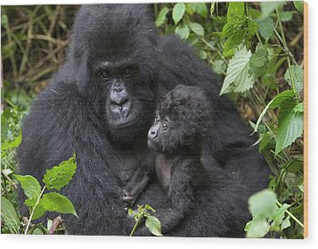 Mountain Gorilla And Infant Wood Print by Suzi Eszterhas