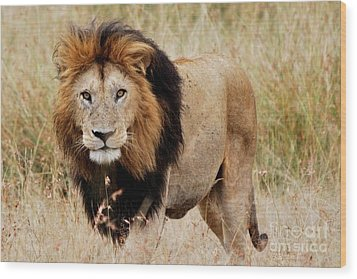 Old Lion Wood Print by Alan Clifford