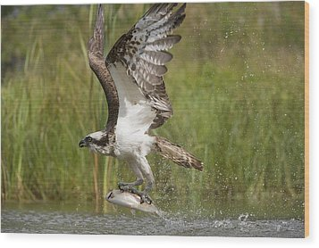 Osprey Catching A Fish Wood Print by Science Photo Library