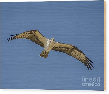 Wood Print featuring the photograph Osprey In Flight Spreading His Wings by Dale Powell