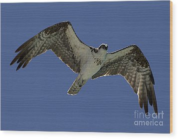Wood Print featuring the photograph Osprey In Flight Photo by Meg Rousher