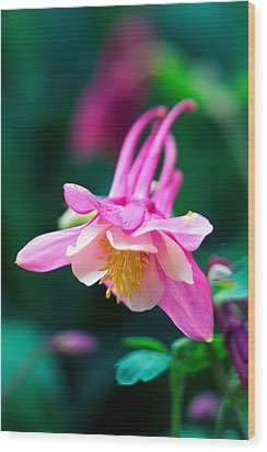 Pink And White Columbine Flower Wood Print by RM Vera
