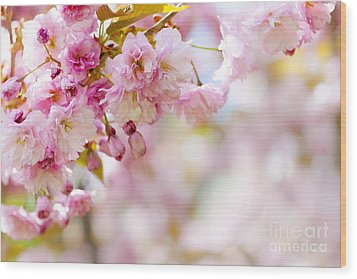 Pink Cherry Blossoms  Wood Print by Elena Elisseeva
