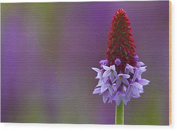Primula Vialii  Wood Print by Zoe Ferrie
