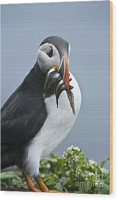 Puffin With Fish Wood Print by Heiko Koehrer-Wagner
