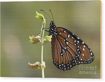 Wood Print featuring the photograph Queen Butterfly by Meg Rousher