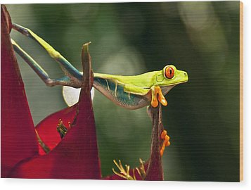 Wood Print featuring the photograph Red Eyed Tree Frog 1 by Jialin Nie Cox WorldViews