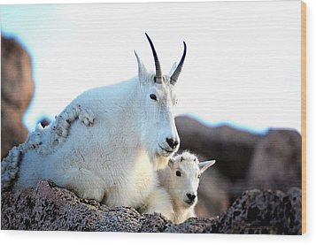 Rocky Mountain Goats 2 Wood Print by Lena  Owens OLena Art