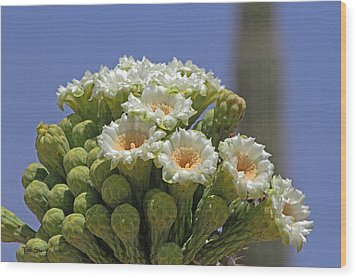 Saguaro Flower And Buds  Wood Print