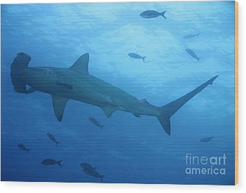 Scalloped Hammerhead Sharks Wood Print by Sami Sarkis