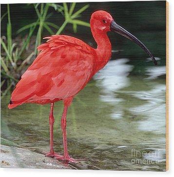 Scarlet Ibis Wood Print by Millard H Sharp