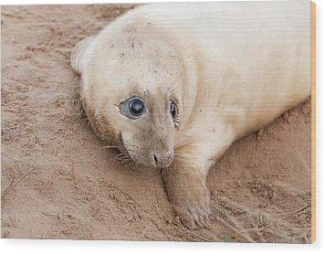 Seal Pup Wood Print