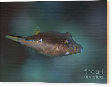 Sharpnose Puffer Wood Print
