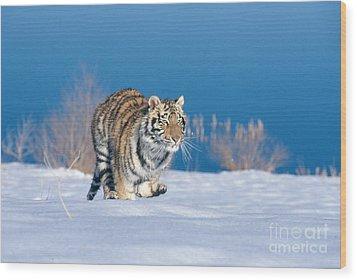 Siberian Tiger Wood Print by Alan Carey