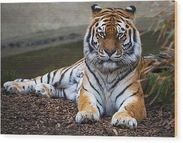 Siberian Tiger Wood Print by Svetlana Sewell
