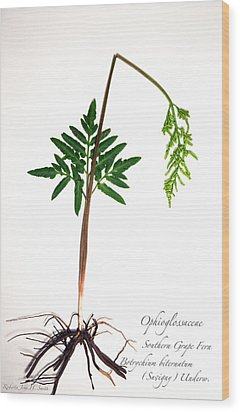 Southern Grape Fern Wood Print