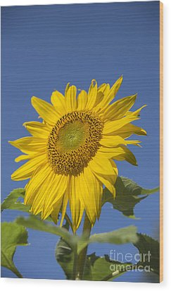 Sunny Day Wood Print by Alana Ranney