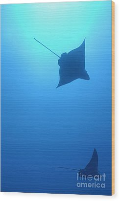 Swimming Spotted Eagle Rays Wood Print by Sami Sarkis
