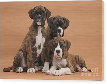 Three Boxer Puppies Wood Print by Mark Taylor