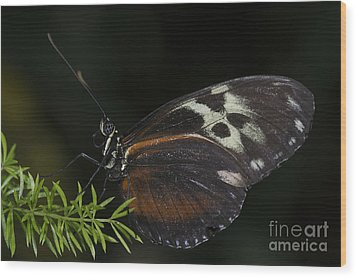 Tiger Longwing Wood Print by JT Lewis